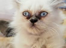 قطط مكس شيرازي شانشيلا