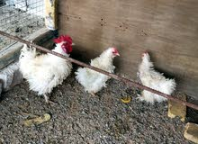 دجاج مفتل للبيع