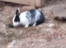 أرنب بلدي للبيع
