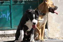 كلاب للبيع