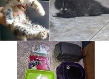 Persian kitten 2 months