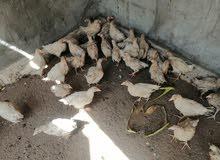 دجاج زين البيع