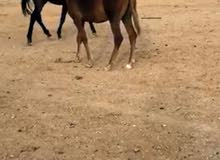 حصان شيخ شعبي مواصفاته ممتازه سريع  يصلح فحل مربط