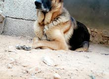 كلبة جيرمن اصلي ع الكستم