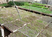 مهندس زراعي مصري خبره في الزراعه في سلطنه عمان لمده عامين