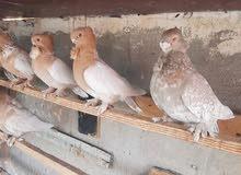 طيور زينه للبيع