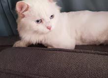 قط شيرازي مون فيس عيون زرقاء للبيع