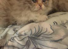قطط كيوت هملايا هاف بيكي