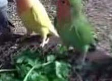 زوج طيور زينه قندورات روز نثيه وفحل متزاوجات وكلش حلوات ونظيفات مالات بيت