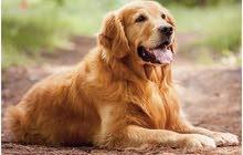 مطلوب كلب الماسترد الذهبي