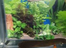 سمكة على شكل ثعبان