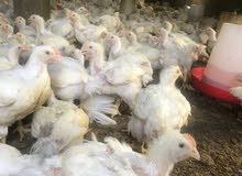 الدجاج الابيض الطازج100%