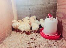 دجاج عرب وبرهام