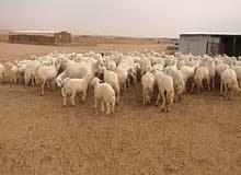 حريات للبيع شمال شرق الرياض