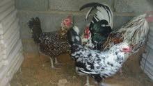 عندي تلات دجاجات وفروج لبيع زوز فولي واحده زهري وفروج زهري
