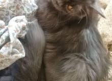 قطة تركية مع جواز سفر نوع نادر