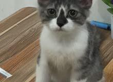 قطة انثى شانيلا عمر 3 اشهر