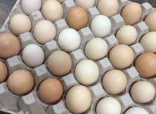 بيض دجاج مخصب 1.800.