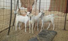 جفار بيشية للبيع