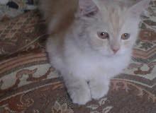 قطة شيرازية عمرهة 9 اشهر تقريبا جايبة بطن وحدة حلوة ولعوبة مال بيت