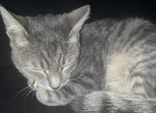 قطة شيرازي فيس مون للبيع