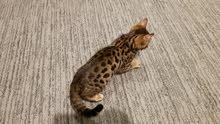 Spotted bengal femal kitten for sale