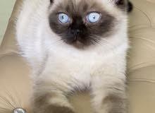 Scottish cat سكوتش قطط