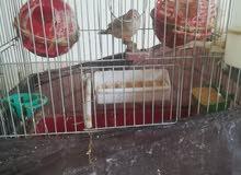مجموعة طيور زينه للبيع المستعجل .. فشر... حب... جنه.. صلاة النبي