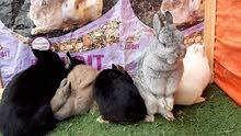 أرنب الهولندي القزمي Dwarf Holland