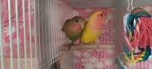Love Birds adult pair