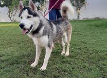 husky pure for sale هاسكي للبيع