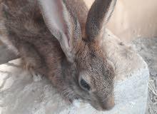 ارانب عربيه اصيله