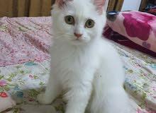 قط شيرازي ذكر للبيع ذيله قصير