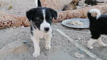 كلاب هجينة محلية للتبني