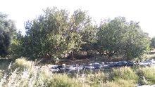 مزرعه مساحتها هكتارا للبيع في منطقه الساعديه قريب من سوق السيارات تبعد المزرعه ح