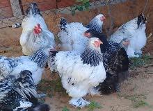 دجاج ابرهما للبيع