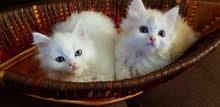 قطط شيرازي بيور عمر شهرين لعبونين وصحه ممتازه