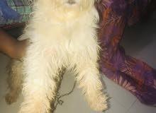كلب لولي جيرفون للبيع العمر 7 شهور