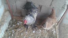 دجاجة وديك برهما عملاق للبيع