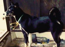 كلب للبيع العمر 6 اشهر العيون زرق
