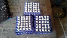 بيض فيومي للبيع