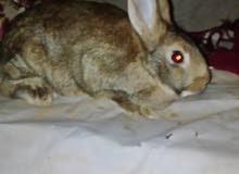 انثى ارنب للبيع