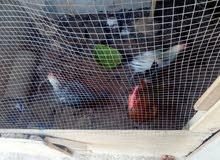 دجاج وديوك للبيع