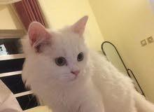 قطه شيرازية للبيع توصل واتس اب 96680019