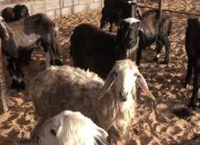 خروف عربي،