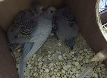 طيور الحب البادجي مع فرخين
