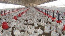 دجاج للبيع بشكل مستعجل