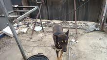 كلاب جيرمان شبار للبيع
