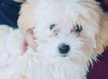 كلب زينه تيرير مطيع لعوب اصلي