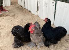 للبيع دجاجتين وديج كوشن